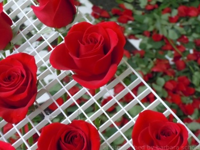 roses at their peak in the installlation